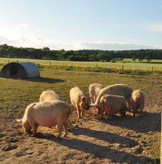 Our free range Middle White pigs